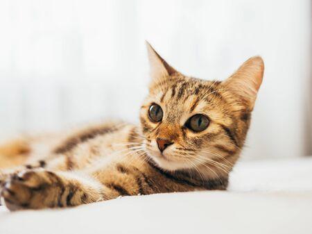 Photo pour Cat lies on a white bed with a gray plaid. - image libre de droit