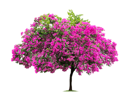 Photo for Isolated Bougainvillea on white background - Royalty Free Image