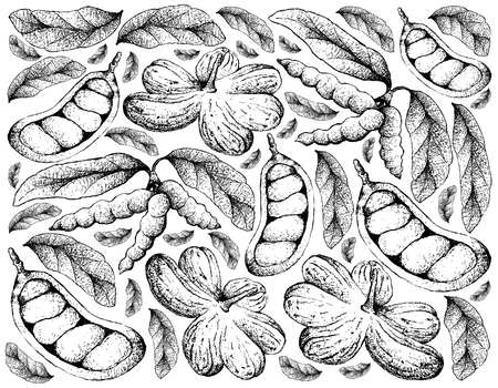 Tropical Fruit, Illustration Wallpaper Background of Hand Drawn Sketch of Cola Millenii and Dasymaschalon Lomentaceum Fruits.