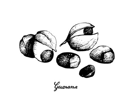 Ilustración de Vegetable, Illustration of  Red Guarana or Paullinia Cupana Fruits Isolated on White Background. - Imagen libre de derechos