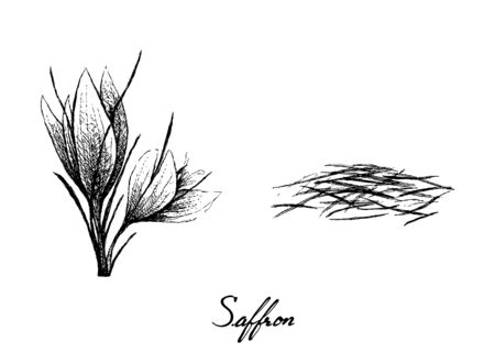 Illustration pour Herbal Plants, Hand Drawn Illustration of Saffron Thread and Flowers Used for Seasoning in Cooking. - image libre de droit