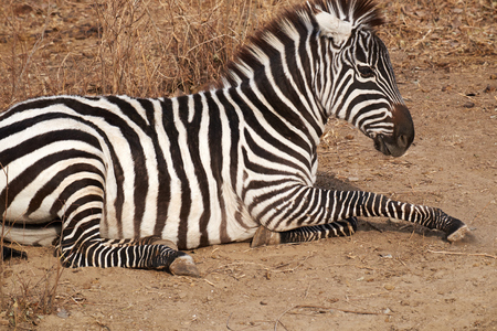 zebra have a rest