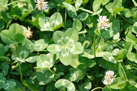 Five-leaf white clover/Dutch clover  (Trifolium repens) on the field.