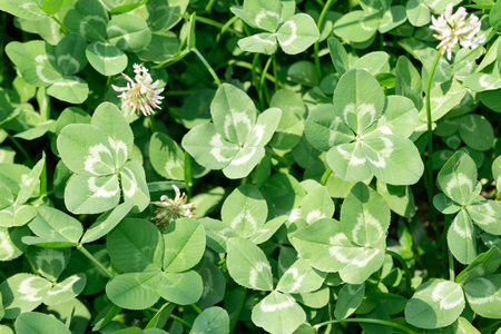 The multiple form (three/four/five-leaf) of white clover/Dutch clover  (Trifolium repens) on the field (focus on five-leaf clover).