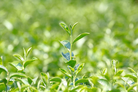 "Tea plant (Camellia sinensis var. sinensis / Chinese tea) the plant that use to produce aromatic beverage ""tea�"