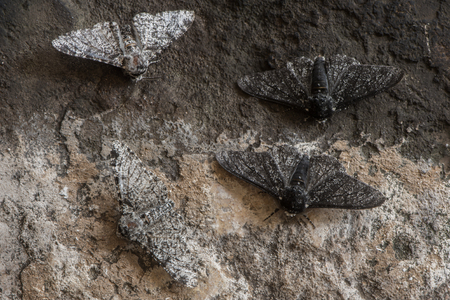 Peppered moth (Biston betularia) melanic and light form. Moths in the family Geometridae showing relative camouflage of f. cabonaria, the result of industrial melanism
