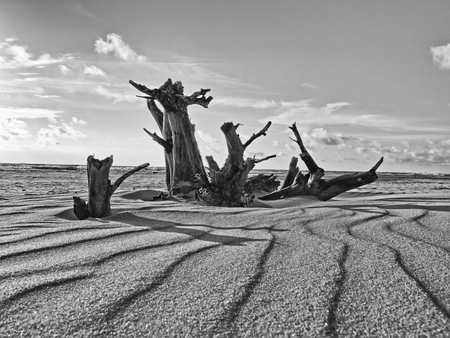 Dry Tree On The Beach Of The Baltic Sea. blackly white photo