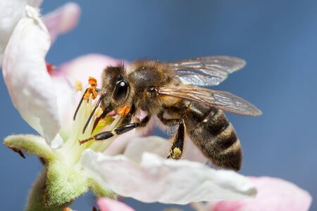 Photo pour Bee works on a flower, a bee collects honey - image libre de droit