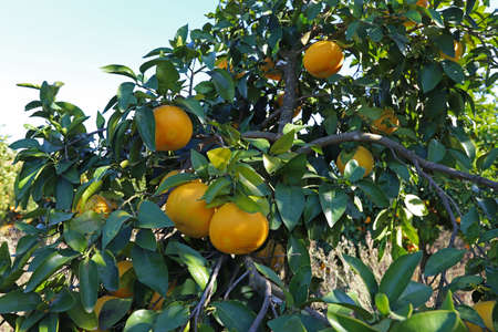 Photo for Grapefruit trees in the garden - Royalty Free Image
