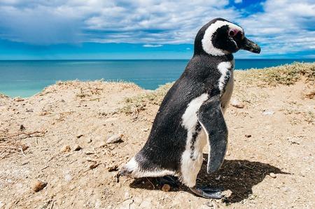 Foto de Magellanic Penguins dwelling by their nest at the rocks above the beach at Valdes Peninsula, Patagonia, Argentina - Imagen libre de derechos