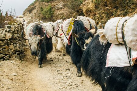Photo pour Yaks carrying weight in himalaya, Nepal - image libre de droit