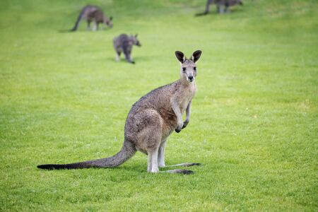 Photo pour wild juvenile eastern grey kangaroo with other kangaroos from its mob in the back ground  - image libre de droit