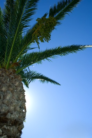 Date palm's view from bottom