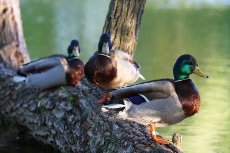 sunshine afternoon, a group of wild ducks are resting.