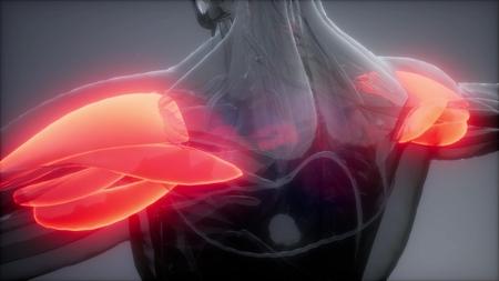 Foto de deltoid - Visible muscle anatomy map - Imagen libre de derechos