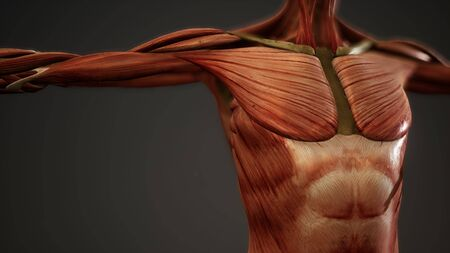Photo for Muscular System of human body animation - Royalty Free Image