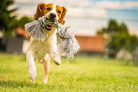 Foto de Beagle dog running in the garden with a toy - Imagen libre de derechos