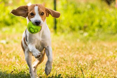 Foto de Beagle dog running with a ball outdoor - Imagen libre de derechos