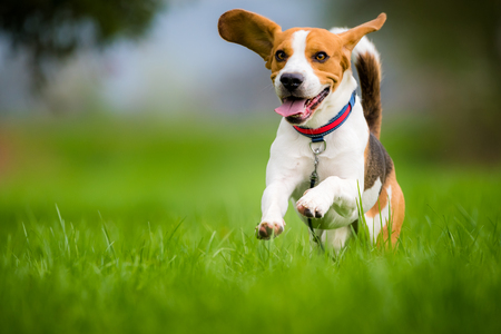 Foto de Dog Beagle running and jumping with tongue out through green grass field in a spring - Imagen libre de derechos