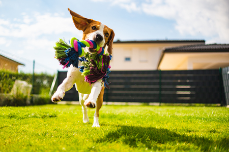 Photo pour Beagle dog jumping and running with a toy in garden, towards the camera. Vertical photo - image libre de droit