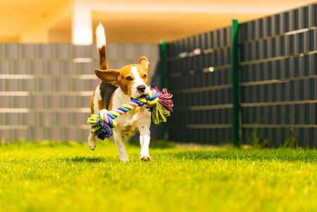 Photo for Beagle dog runs in garden towards the camera with rope toy. Sunny day dog fetching a toy. - Royalty Free Image