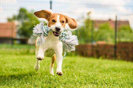 Foto de Dog run Beagle fun - Imagen libre de derechos
