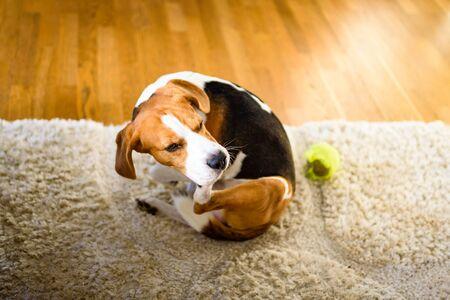 Photo pour Dog Beagle scratches himself on carpet, indoors. - image libre de droit