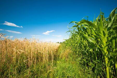 Corn maize field against blue sky in summer.