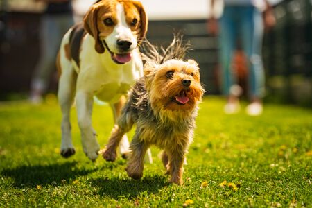 Foto de Cute Yorkshire Terrier dog and beagle dog chese each other in backyard. Running and jumping with toy towards camera. - Imagen libre de derechos