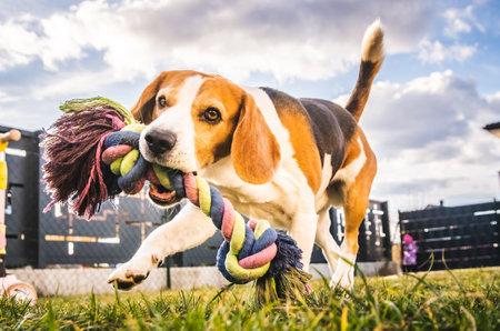 Foto de Dog run, beagle jumping fun in the garden summer sun with a toy fetching - Imagen libre de derechos