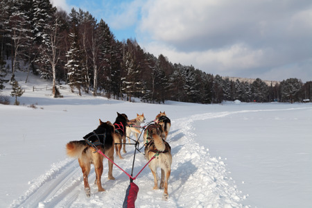 A team of Siberian sled dogs pulling a sled through the winter forest