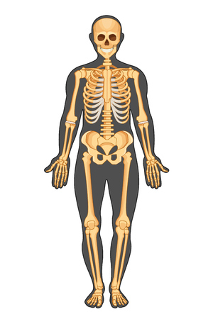 Illustration pour Anatomical structure of human body, presented in form of skeleton, front view. Medical atlas of human anatomy with detailed bone system of a man in full growth. Vector illustration. - image libre de droit