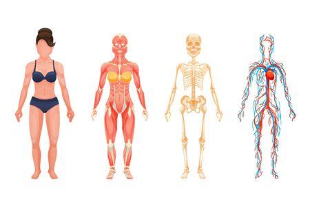 Illustration pour Anatomical structure of body of person, woman body. - image libre de droit