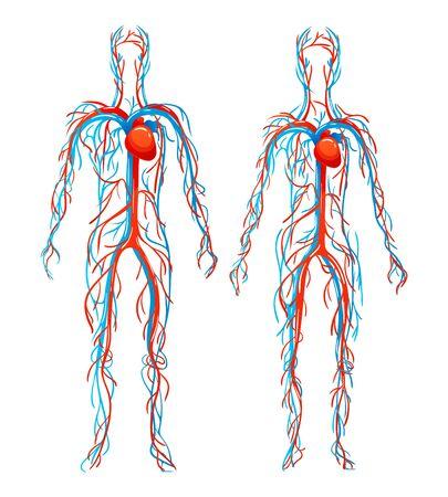 Illustration pour Anatomical structure human bodies. Blood vessels with arteries, veins. - image libre de droit