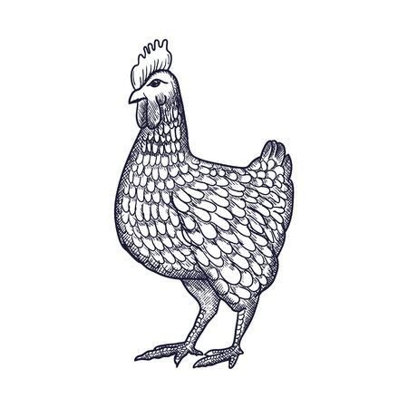 Illustration pour Hen or chicken hand drawn with contour lines on white background. Elegant monochrome drawing of domestic farm poultry bird. illustration in vintage woodcut, engraving or etching style. Vector illustration - image libre de droit