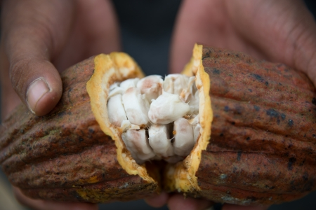 Opened Cocoa Pod showing the wet beans
