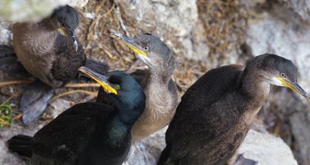 Adults and young adults of European shag (Phalacrocorax aristotelis) on Ireland's Eye Island, Ireland.