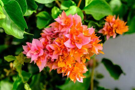 Photo pour Flowering bush close-up. - image libre de droit