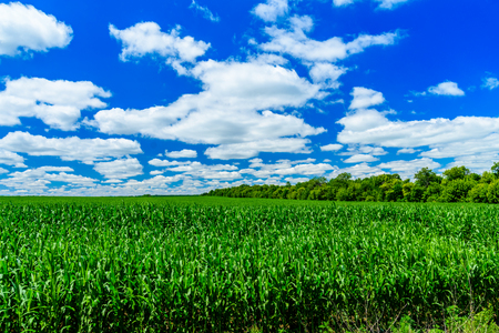 Photo for Field of young green corn on summer - Royalty Free Image