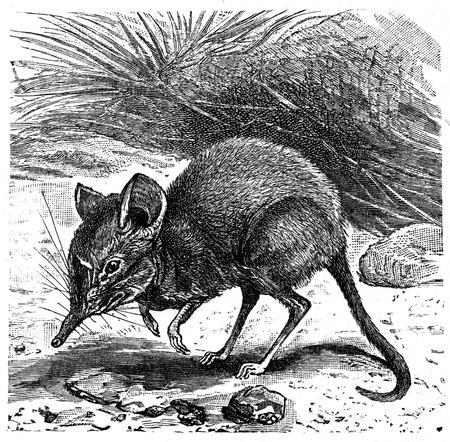 Elephant-Shrew - Macroscelides Typicus - an illustration to article