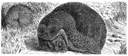 European Hedgehog,  Common hedgehog or just Hedgehog - Erinaceus europaeus - an illustration to article