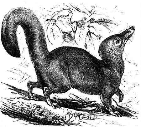 Large Treeshrew - Tupaia tana - an illustration to article
