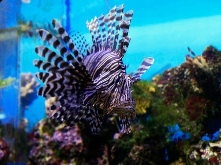Photo for Big beautiful colored fish swims in aquarium - Royalty Free Image