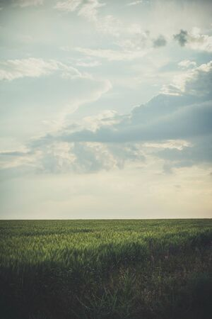 Photo pour Big Field of green wheat in the evening at sunset in summer - image libre de droit