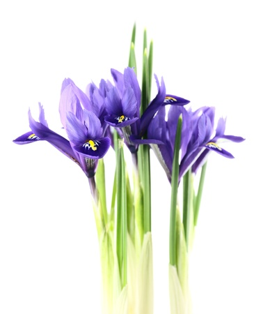 iris reticulata ›Harmony� on a white background.