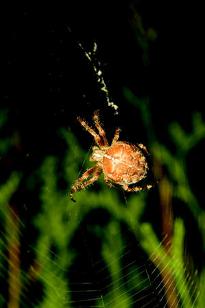 Thick spider on the web