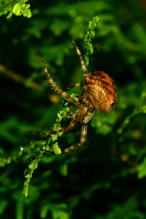 fat spider in the Thuja hedge