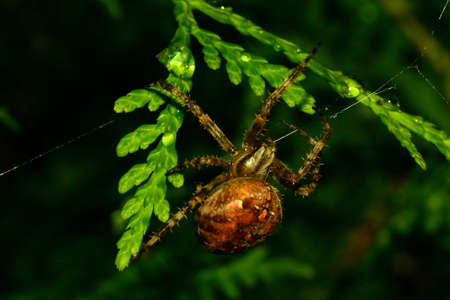 Spider in the Thuja hedge