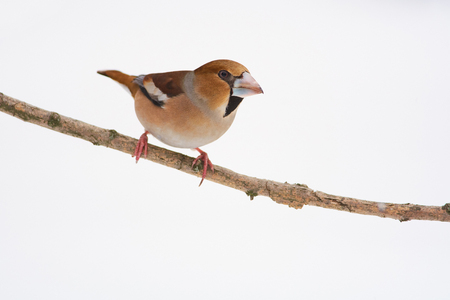 Hawfinch (Coccothraustes coccothraustes) sitting on a branch on a white background (white isolated).