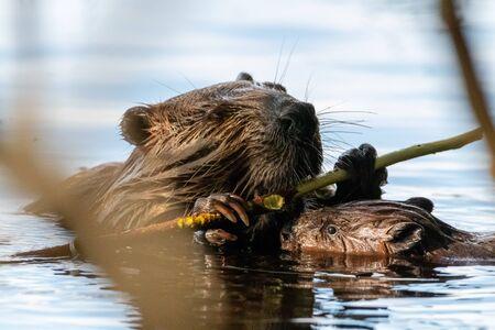 Foto de Beaver with baby in lake chewing on wood - Imagen libre de derechos